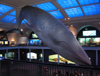 Photo of a whale at the Museum of Natural History